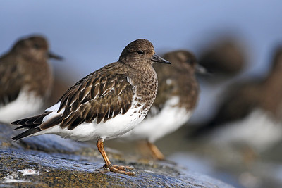 Black turnstones on the rocks of Vancouver Island, British Columbia.