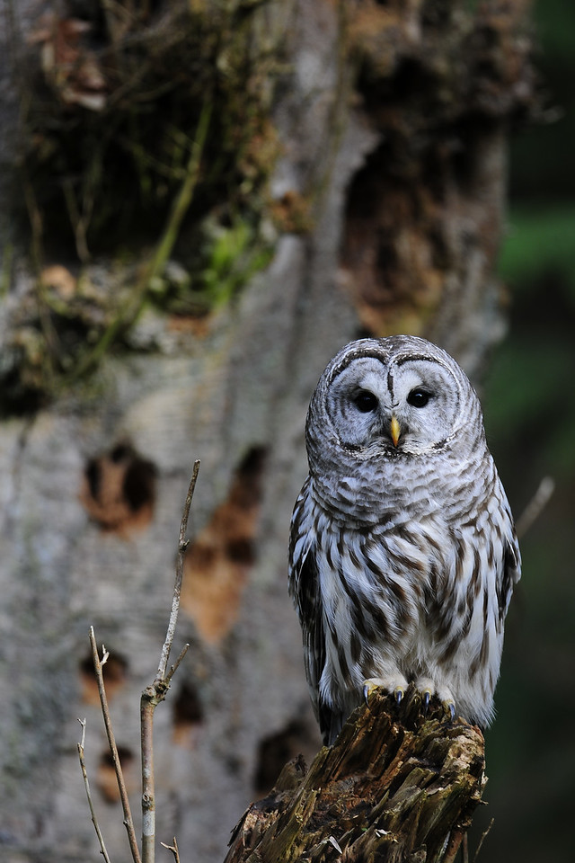 A barred owl in the temperate rainforests of Vancouver Island.