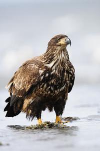 A juvenile bald eagle on a beach  on Vancouver Island, British Columbia.
