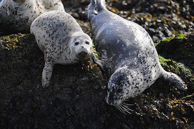 A seal pup and its mother on a small island, Vancouver Island, British Columbia.