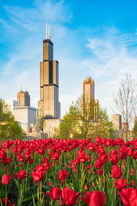 Blue Skies and Red Tulips