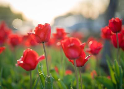 Tulips in the sun