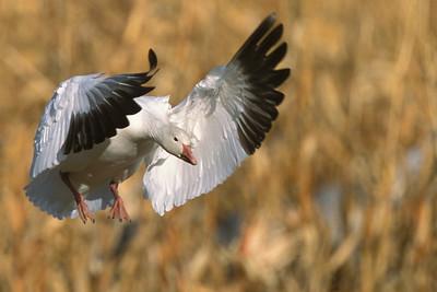 Snow Goose Flyin
