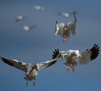 Snow Geese Inbound NM