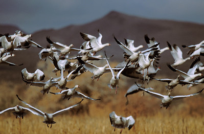 Snow Geese Flock Approaching 1