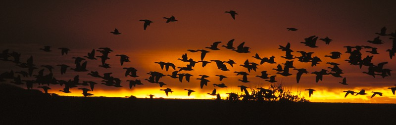 Geese against Sliver of Sunrise Pana NM