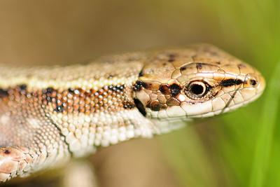 Viviparous lizard found in a Carpathian mountain meadow, Southern Poland.
