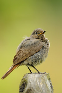 A black redstart perched in a mountain valley, Switzerland.