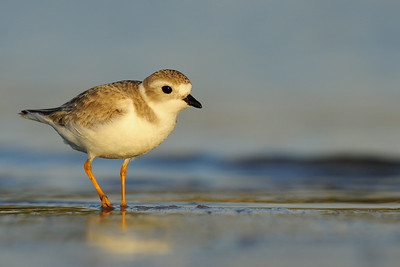 A piping plover on the recently exposed sand after the dropping tide, Florida.