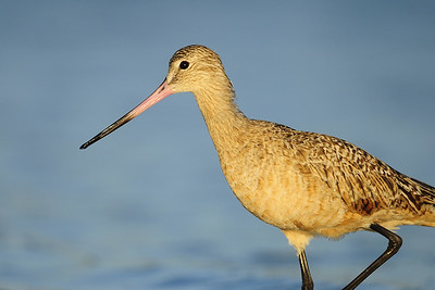 A marbled godwit feeding along the edge of Estero Lagoon, Florida.