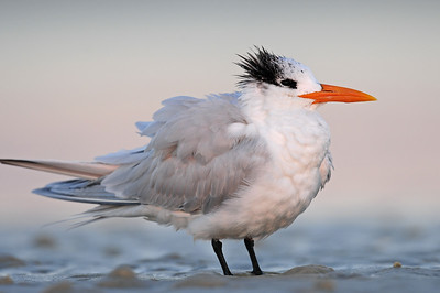 Royal tern in the suns first light on Bunch Beach in West Florida.