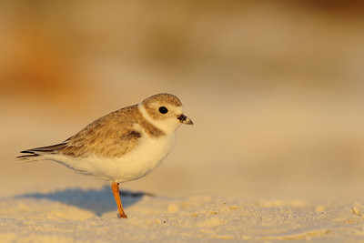 A piping plover on the white Florida sand.