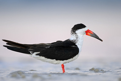 A black skimmer which feeds by dipping its odd shaped bill in the water while flying inches from the surface, Florida.