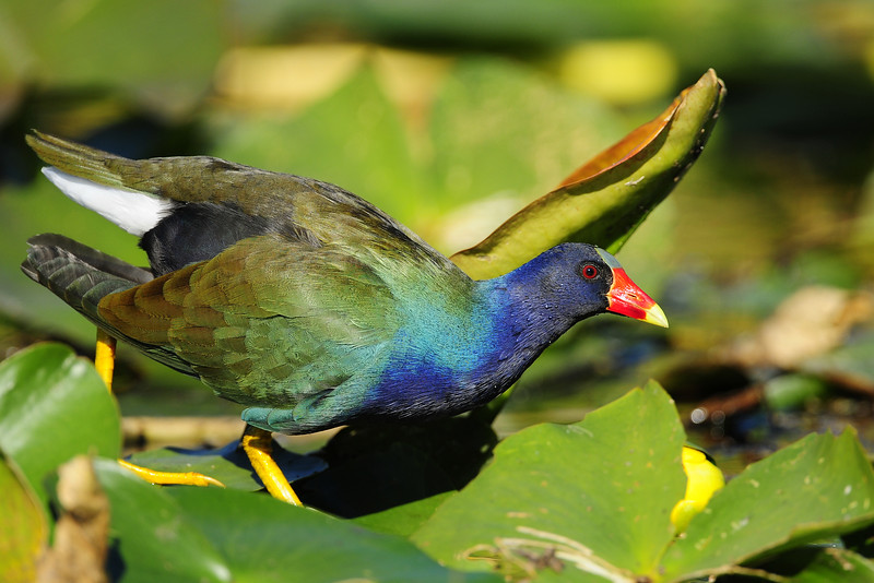 A purple gallinule navigating the lily pads in Everglades National Park.