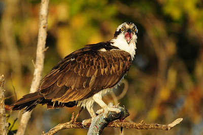Osprey calling from a branch near Ft. Myers, Florida.