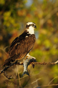 Osprey eating a recently caught fish near Ft. Myers, Florida.