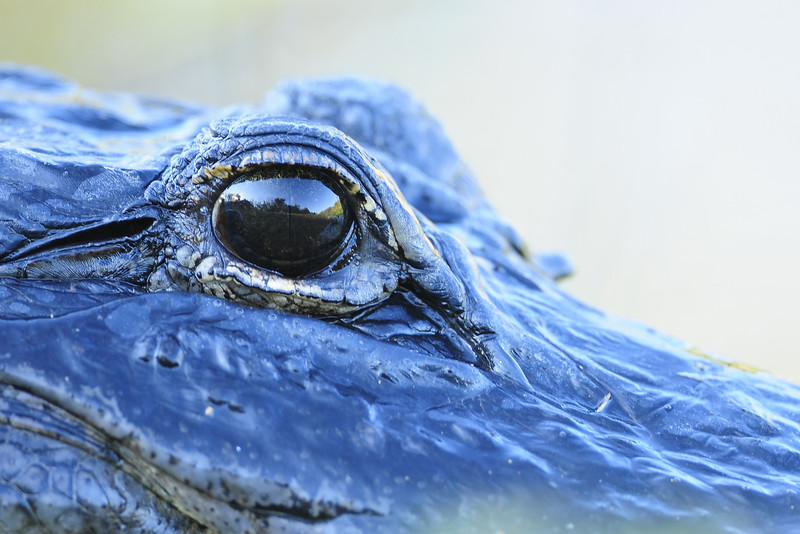 Through the eye of an American alligator in Everglades National Park, Florida.