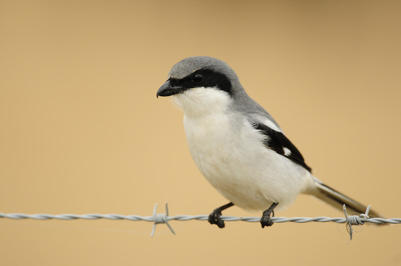 Loggerhead shrike perched on barbwire in Southern Florida.