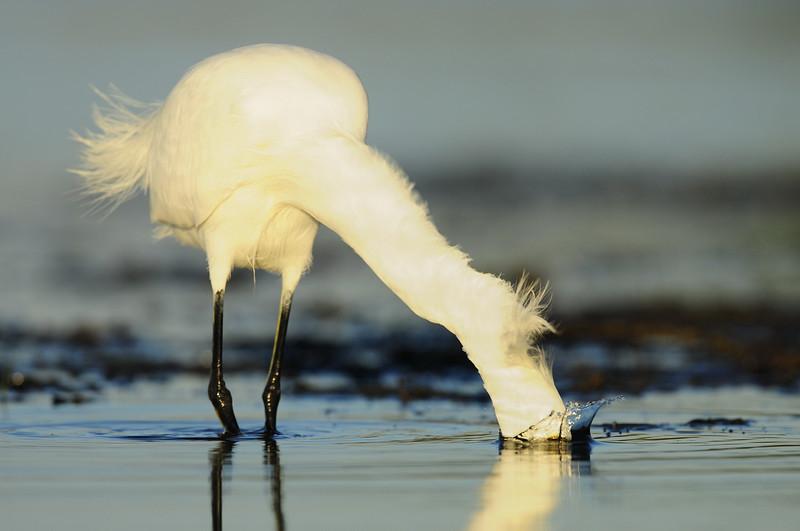 A snowy egret striking for its prey on Bunch Beach, Florida.