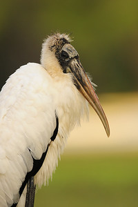 Wood stork rest on the grass of a West Florida park.