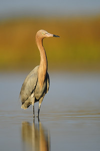 Red egret standing in a shallow West Florida lagoon.
