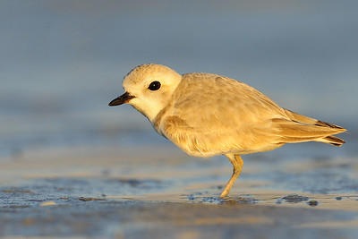 A snowy plover foraging along Bunch Beach, Florida.