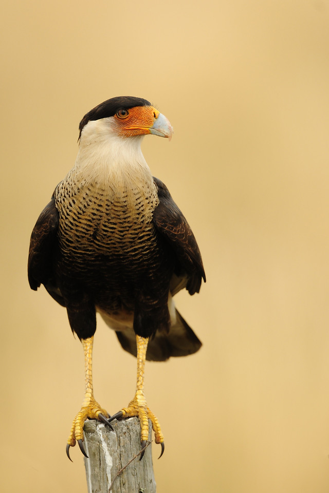 A crested caracara perched along a road in Central Florida.