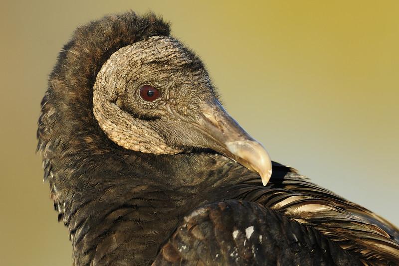 Black vulture portrait, Florida.