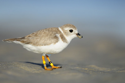 A banded piping plover scouring a Florida beach.