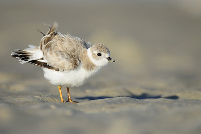 Piping plover fluffing itself up on a West Florida beach.