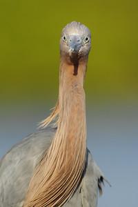 Head on portrait of a reddish egret as it feeds near Fort De Soto.