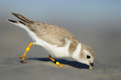 A banded piping plover foraging on Bunch Beach, Florida.
