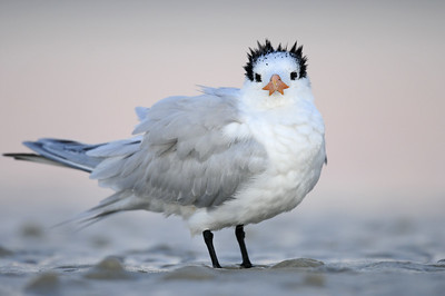Royal tern at sunrise on the shore of Estero Lagoon, Florida.