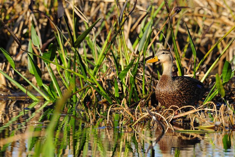 Mottled duck on Florida wetlands.