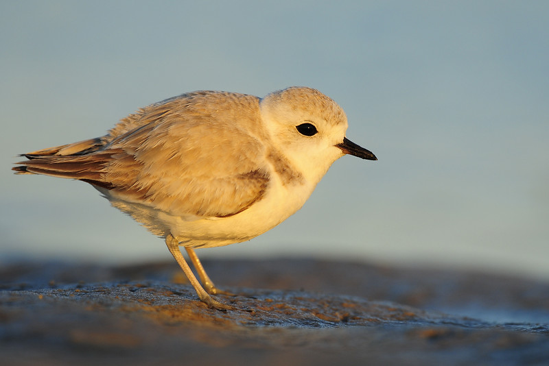 The miniscule snowy plover feeding across the sand of Bunch Beach, Florida.