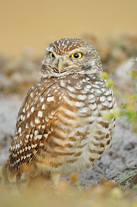 A small burrowing owl standing alert outside its den, Florida.