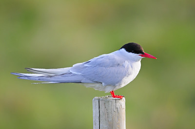 An arctic tern on a fencepost, Iceland.