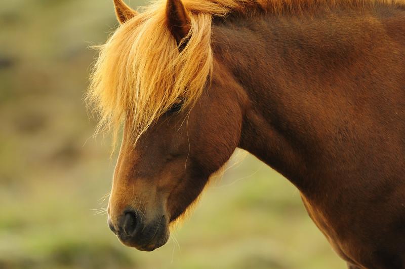 An icelandic horse in near Myvatn, Iceland.