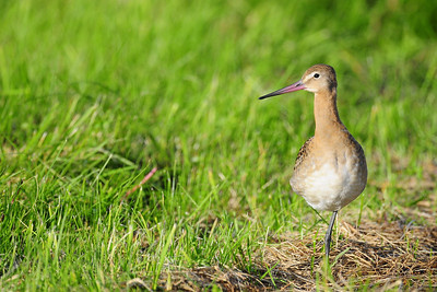 Black-tailed godwit in the short grass in Northwest Iceland.