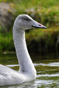 A young whooping swan on a small pond in Northwest Iceland.