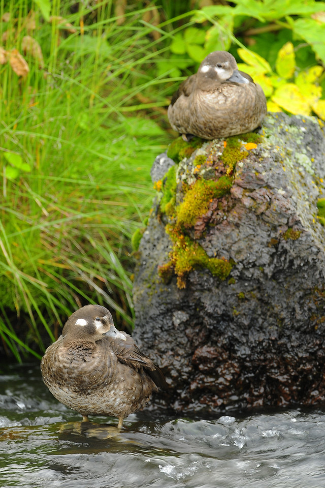 A pair of harlequin ducks along a rushing stream, Northeast Iceland.