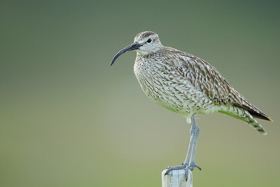 Whimbrel on a fencepost in Arnarstapi, Iceland.