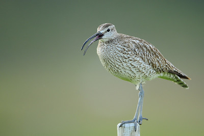 Whimbrel calling from a fencepost in Arnarstapi, Iceland.