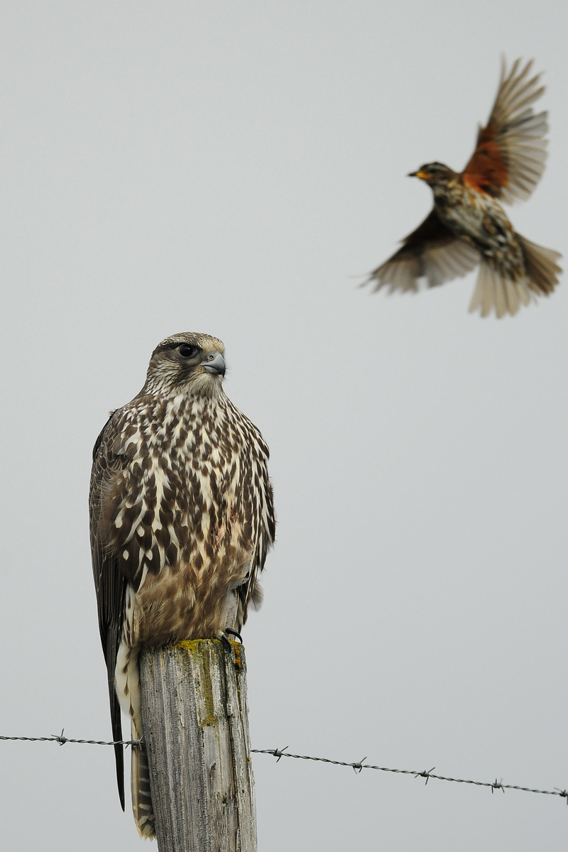 A redwing takes a swipe at a gyr falcon perched near lake Myvatn, Iceland.