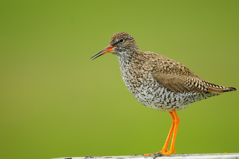 A common redshank perched along the road in Iceland.