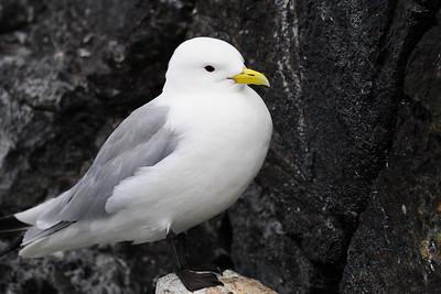 A black-legged kittiwake nesting along the Látrabjarg sea cliffs, Iceland.