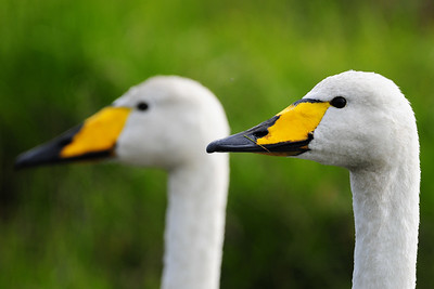 A pair of whooping swans on a small pond in Northwest Iceland.