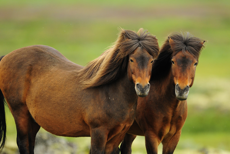 A pair of Icelandinc horses in a field near Myvatn in Northeast Iceland.
