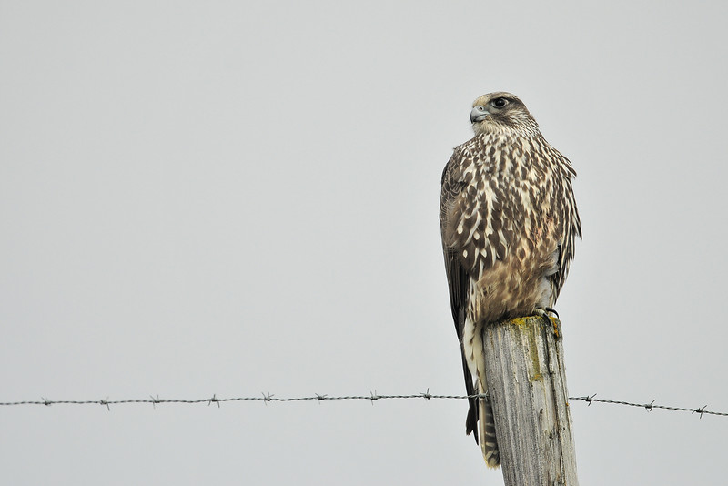 A gyr falcon perched on a fence near Myvatn, Iceland.