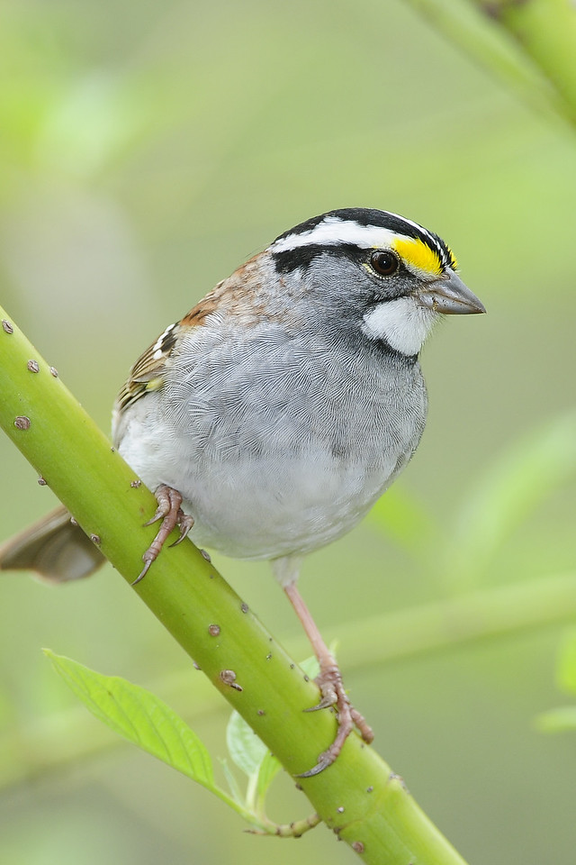 A white-throated sparrow perching, Iowa.